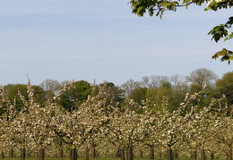 2011  - Whinhill Cider Company's orchard - at Station Farm, Stanhoe.