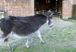 2011 - A Rescue donkey at Station Farm, Stanhoe