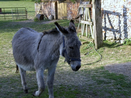 2011 - Rescue donkey at Station Farm, Stanhoe